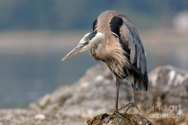 Photograph - Great Blue Heron At The Ready by Sue Harper