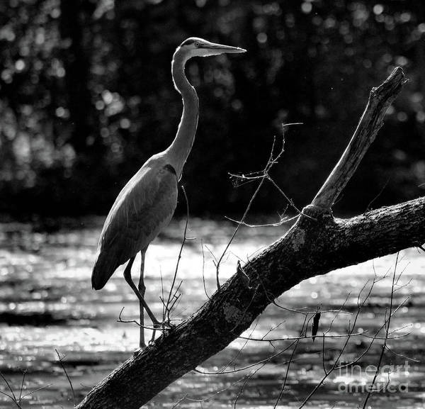 Photograph - Great Blue Heron Black And White by Karen Adams