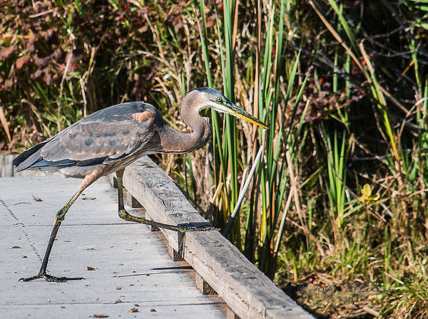 Photograph - Great Blue Heron Boardwalk by Edward Peterson