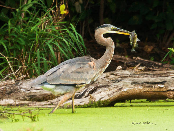 Photograph - Great Blue Heron Catch by Edward Peterson