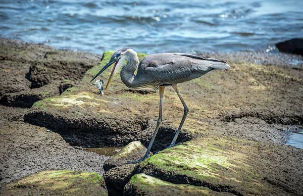 Photograph - Great Blue Heron Catching A Blue Crab On Chesapeake Bay by Patrick Wolf