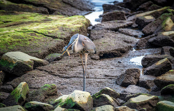 Photograph - Great Blue Heron Catching A Maryland Blue Crab by Patrick Wolf