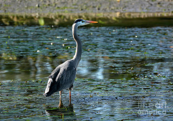 Photograph - Great Blue Heron Catching The Light by Susan Wiedmann