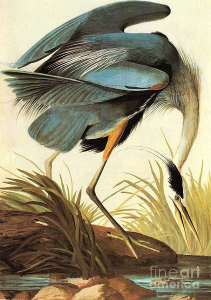 Painting - Great Blue Heron by Celestial Images