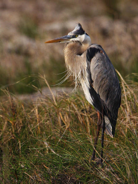 Photograph - Great Blue Heron by Charles McKelroy