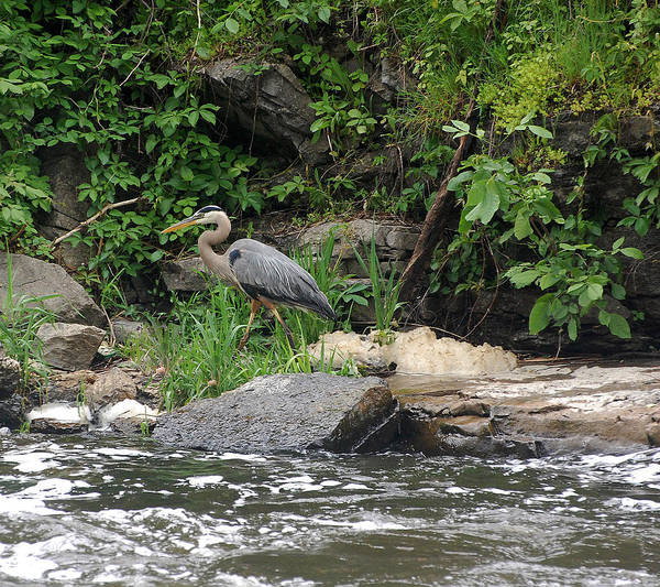 Napanee Photograph - Great Blue Heron by Colleen English