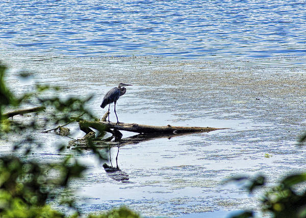 Photograph - Great Blue Heron by Cricket Hackmann