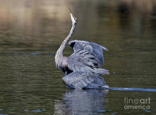 Photograph - Great Blue Heron Display by Sue Harper