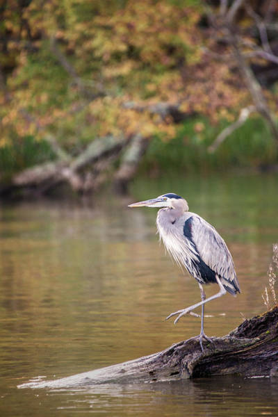 Photograph - Great Blue Heron by Don Johnson
