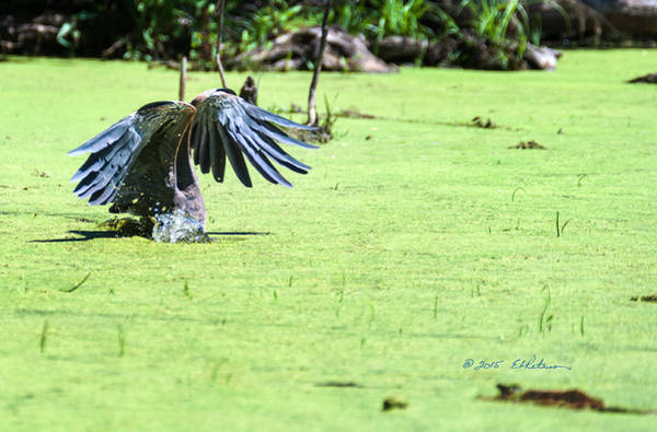 Photograph - Great Blue Heron Dunk by Edward Peterson