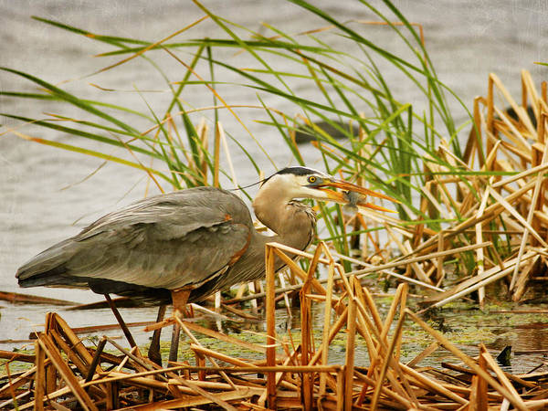 Photograph - Great Blue Heron Eating A Fish by Charles McKelroy