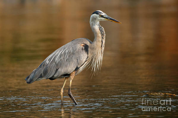 Photograph - Great Blue Heron Fall Colors by Sue Harper