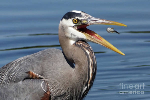 Photograph - Great Blue Heron Feast by Sue Harper
