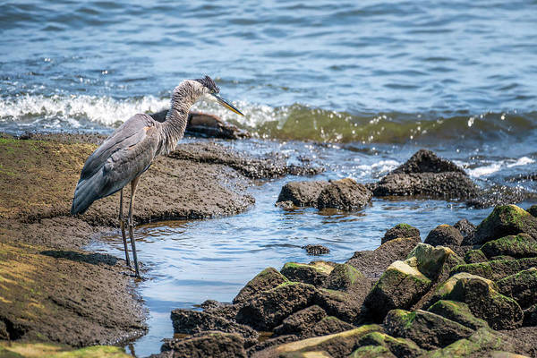 Photograph - Great Blue Heron Fishing On The Chesapeake Bay by Patrick Wolf