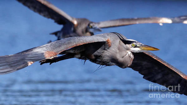 Photograph - Great Blue Heron Flight Close Up by Sue Harper