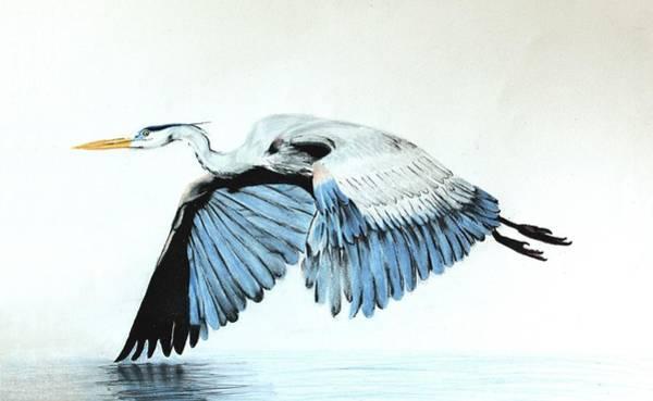 Great Blue Heron Drawing - Great Blue Heron - Flight by Jaclyn Quigley
