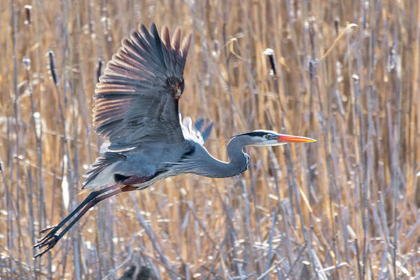 Photograph - Great Blue Heron Flying by Bill Wakeley
