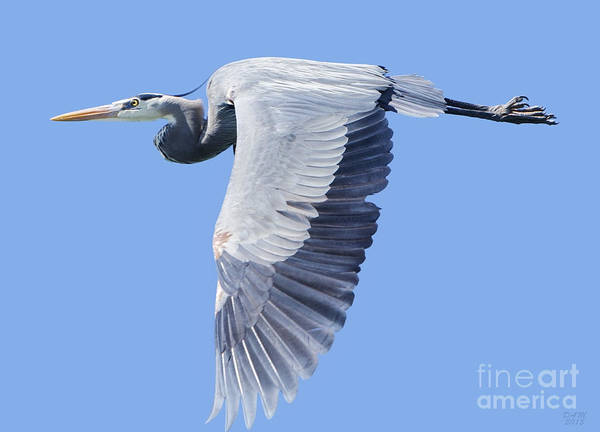 Photograph - Great Blue Heron Flying by David Millenheft