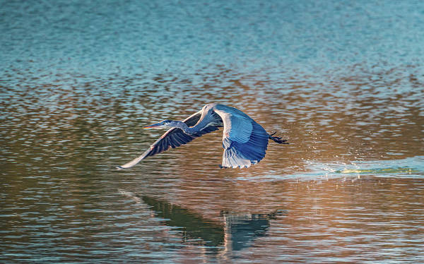 Photograph - Great Blue Heron Flying Low Over Water by Patrick Wolf