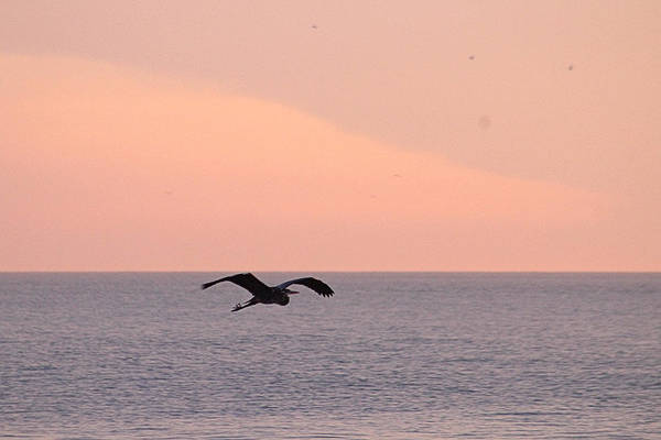 Photograph - Great Blue Heron Flying Over The Atlantic by Robert Banach