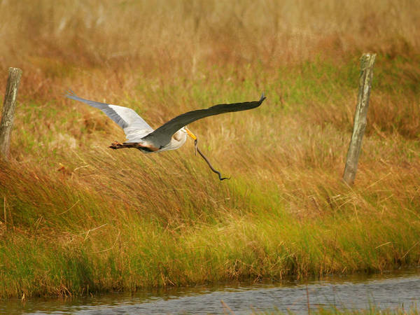 Photograph - Great Blue Heron Flying With Snake by Charles McKelroy
