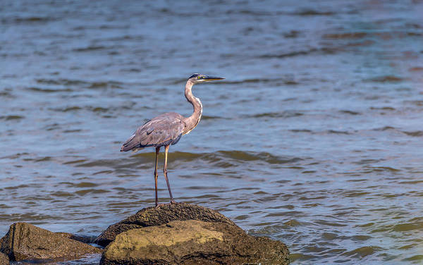 Photograph - Great Blue Heron Gaze by Patrick Wolf
