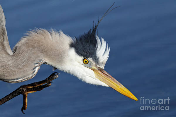 Photograph - Great Blue Heron - Good Scratch by Sue Harper