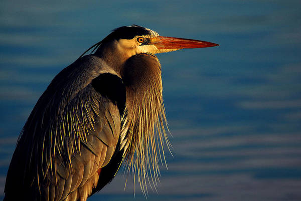 Photograph - Great Blue Heron by Harry Spitz