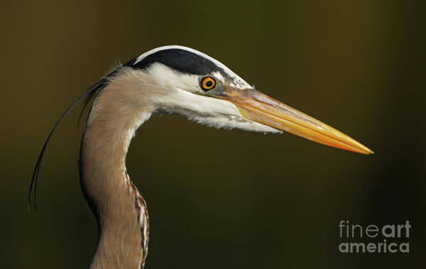 Photograph - Great Blue Heron Headshot by Sue Harper