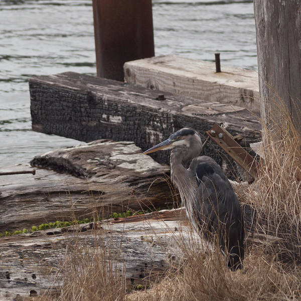 Photograph - Great Blue Heron by HW Kateley