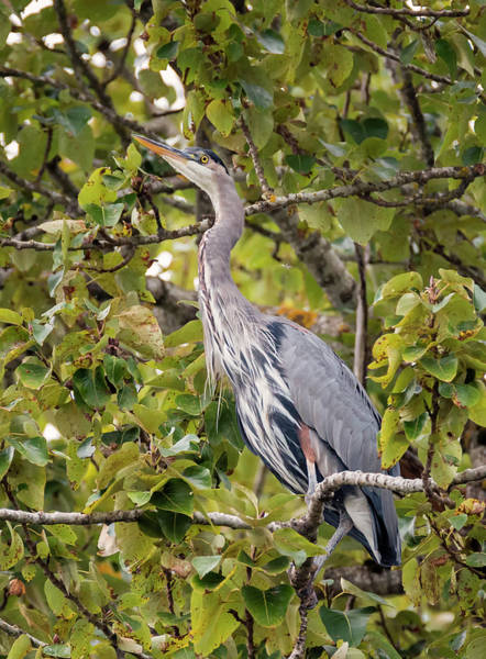 Photograph - Great Blue Heron In A Tree by Loree Johnson