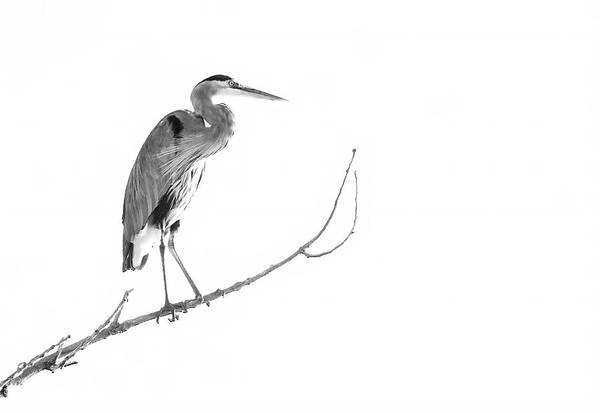 Photograph - Great Blue Heron In Black And White by Judi Dressler