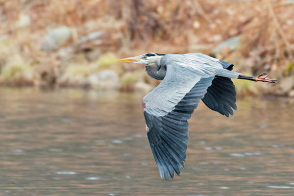 Photograph - Great Blue Heron In Flight by Bill Wakeley