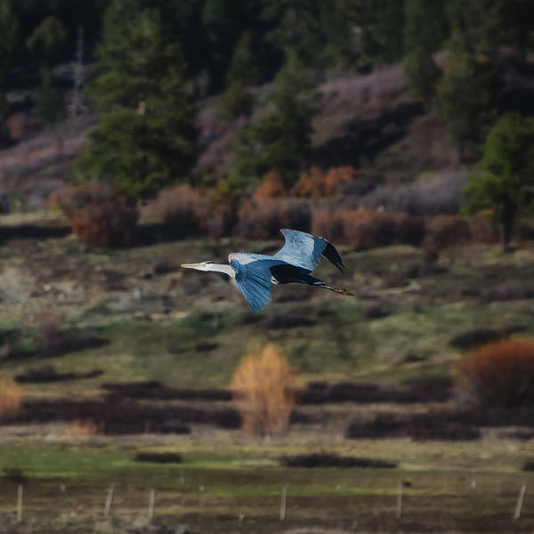 Photograph - Great Blue Heron In Flight II by Jason Coward
