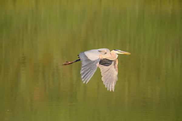 Photograph - Geat Blue Heron Burgess Res Divide Co by Margarethe Binkley