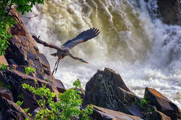 Photograph - Great Blue Heron In Flight by Rick Berk