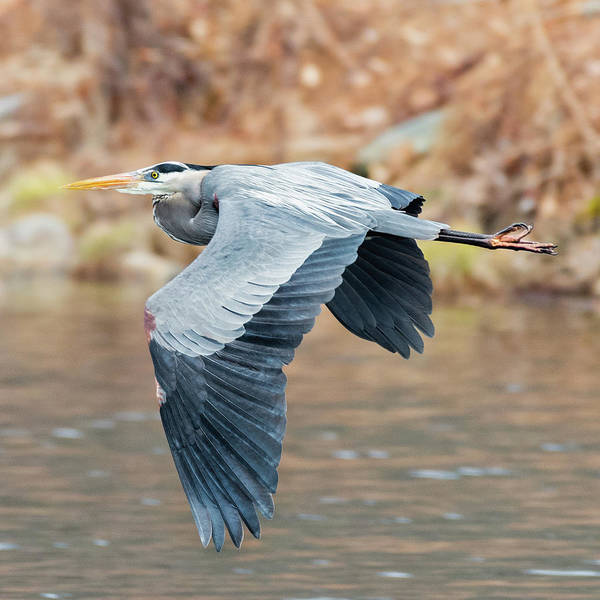 Photograph - Great Blue Heron In Flight Square by Bill Wakeley
