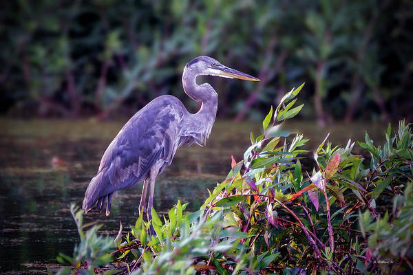 Ish Wall Art - Photograph - Great Blue Heron In Marsh by Brian Wallace