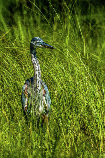Wall Art - Photograph - Great Blue Heron In The Grass by Paul Freidlund