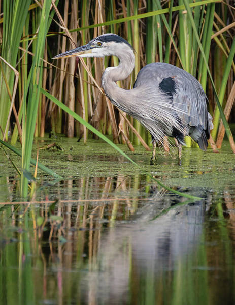 Photograph - Great Blue Heron In The Wetlands by Dawn Currie