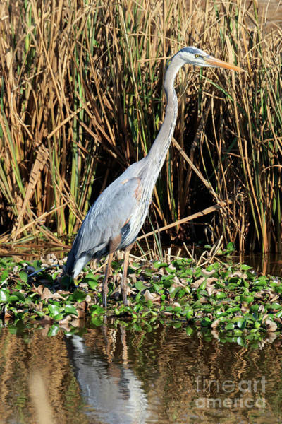 Wall Art - Photograph - Great Blue Heron In The Winter Swamp by Louise Heusinkveld