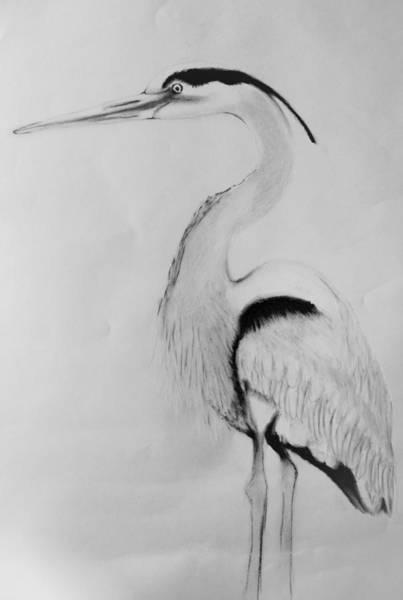 Great Blue Heron Drawing - Great Blue Heron by Jaclyn Quigley