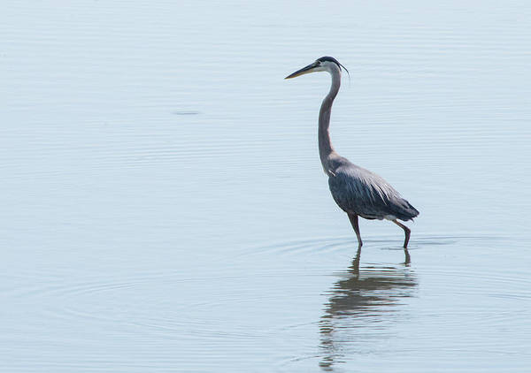 Photograph - Great Blue Heron by Jennifer Ancker