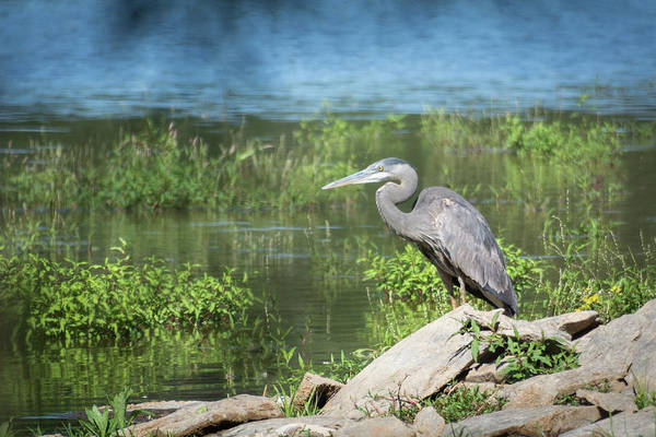 Photograph - Great Blue Heron by John Benedict