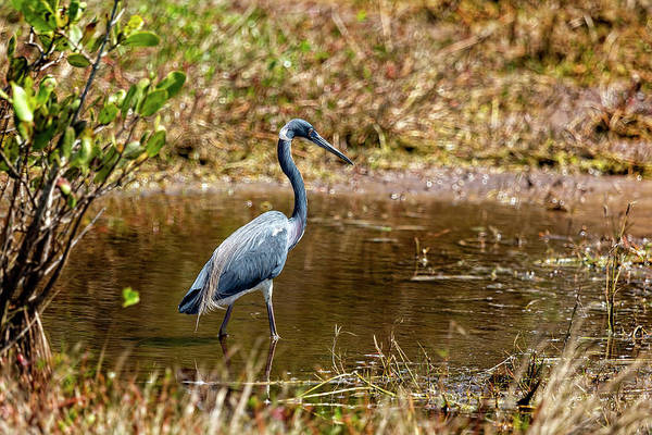 Photograph - Great Blue Heron by Kay Brewer