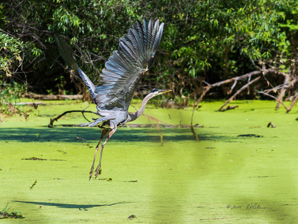 Photograph - Great Blue Heron Liftoff by Edward Peterson