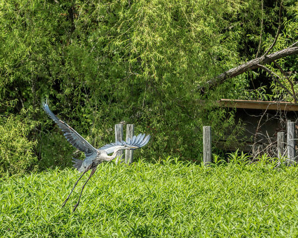 Photograph - Great Blue Heron Liftoff by Jemmy Archer