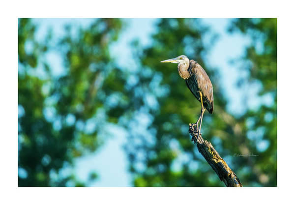 Photograph - Great Blue Heron Lookout by Edward Peterson