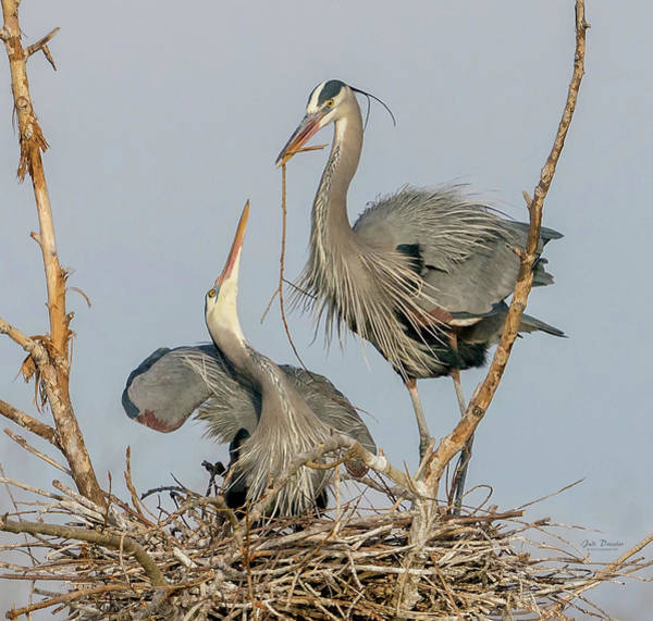 Photograph - Great Blue Heron Love by Judi Dressler