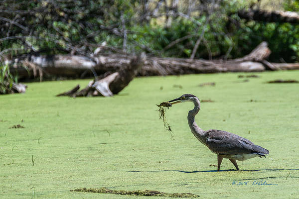 Photograph - Great Blue Heron Main Meal by Edward Peterson
